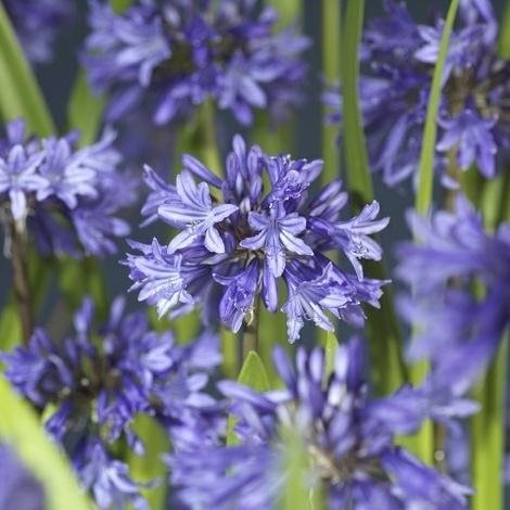 Afrikas blå lilje